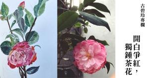 【古碧玲專欄|花草樹木.亂七八招 03】開白爭紅,獨鍾茶花