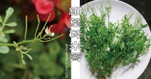 【野草與生活】野菜界的哇沙米:細葉碎米薺|三玉號 × 舞春食農工作室專欄