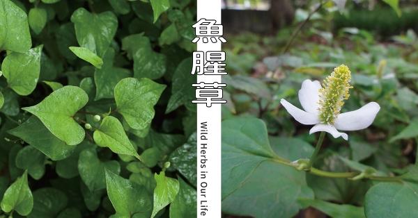 【野草與生活】疫情流行期間的明星:魚腥草 三玉號 × 舞春食農工作室專欄