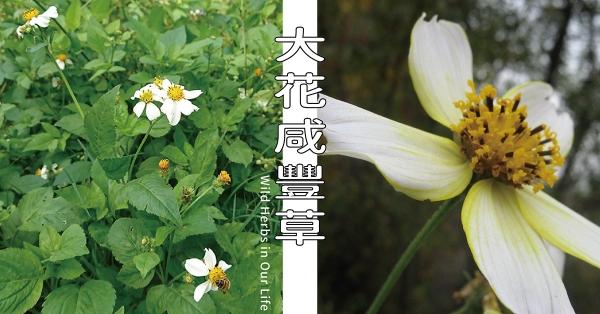 【野草與生活】善加運用也能全身是寶:大花咸豐草 三玉號 × 舞春食農工作室專欄