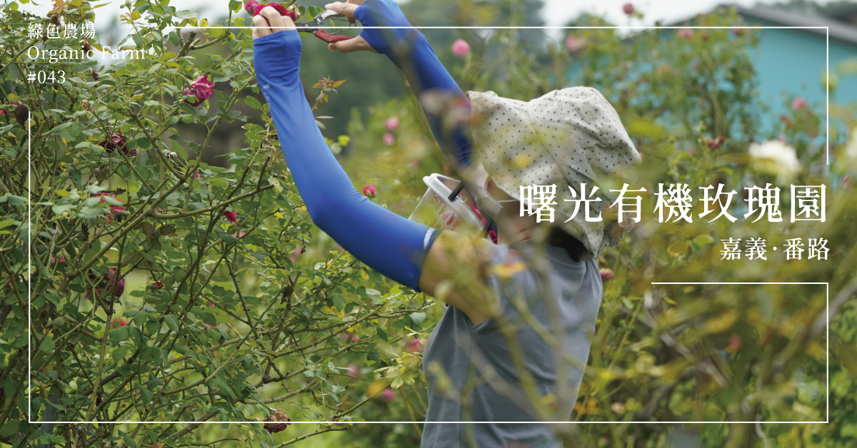【嘉義番路】曙光有機玫瑰園:將玫瑰視為一生摯愛的「玫瑰超人」