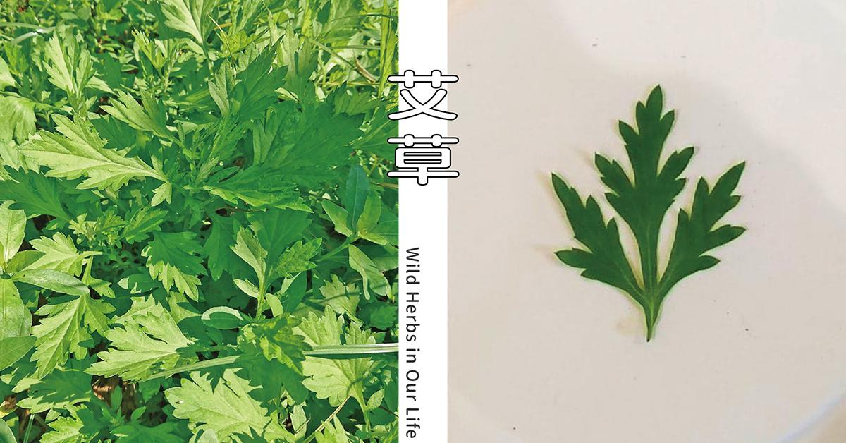 【野草與生活】淨化避邪不只是民間傳說:艾草|三玉號 × 舞春食農工作室專欄